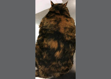 Overweight Cat - Before